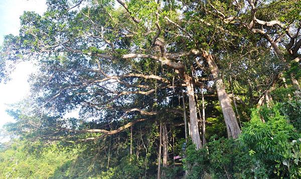 Cây đa ngàn năm Sơn Trà