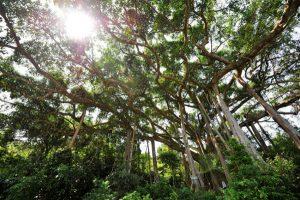 Cây đa ngàn năm Đà Nẵng